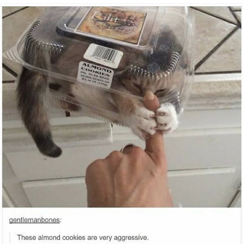 cat meme - Cat - it ALMOND COOKTES gentlemanbones: These almond cookies are very aggressive.