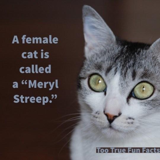 "Cat - A female cat is called a ""Meryl Streep"" Too True Fun Facts"