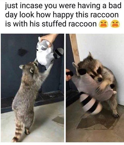 raccoon very happy with his stuffed raccoon