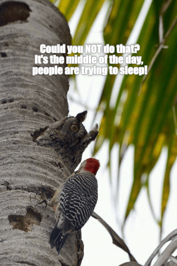 owl and woodpecker meme