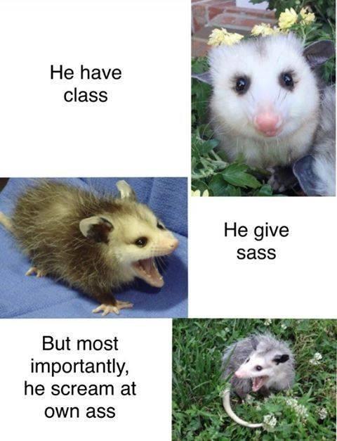 possum meme of he protec format