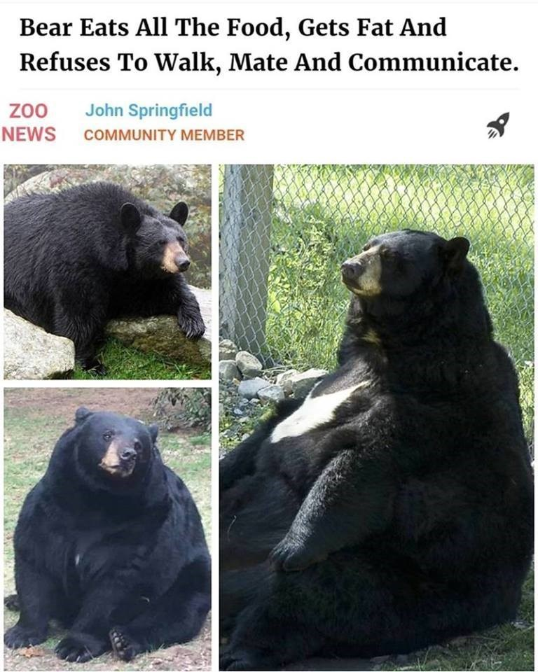 headline meme of a bear that ate all the food, got fat, and refused to walk mate or communicate