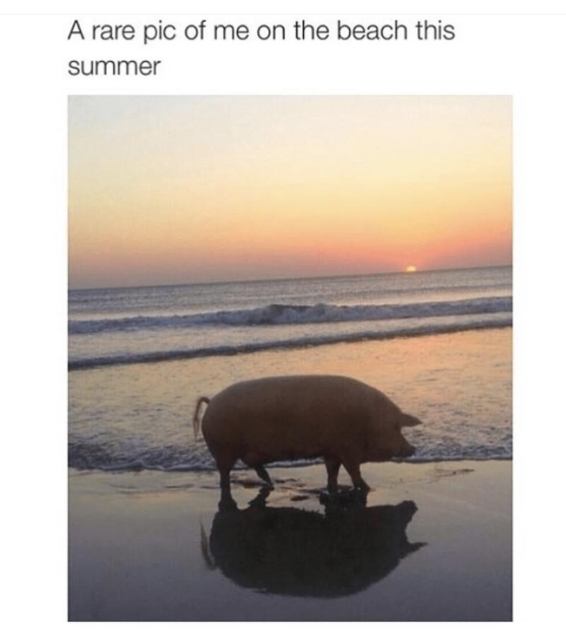 Pig on the beach