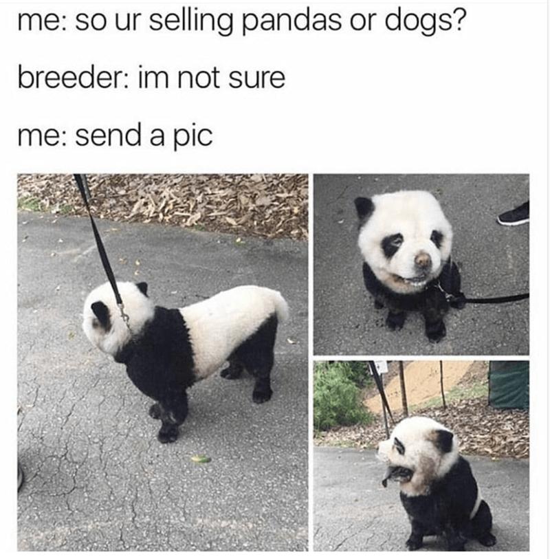Funny meme of a panda dog