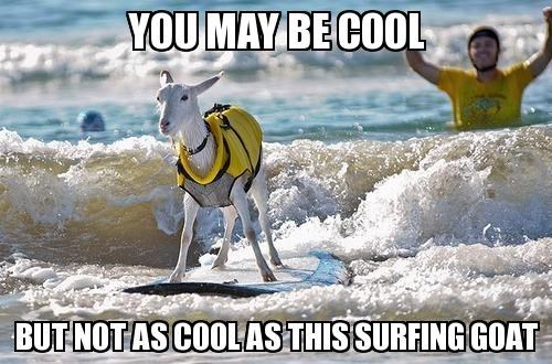 goat meme about cool surfing goat