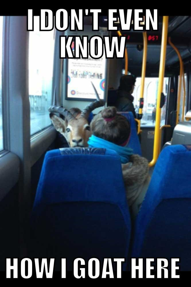 goat meme about getting lost with picture of goat on bus