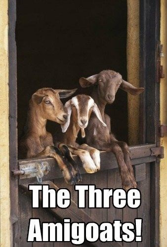 goat meme about the three goat amigos