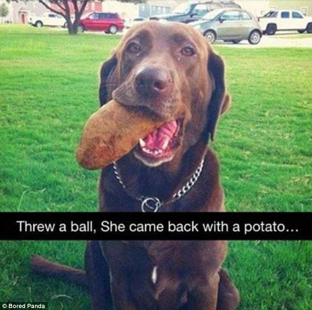 Dog - Threw a ball, She came back with a potato... Bored Panda