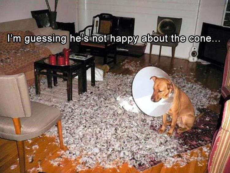Thrusday meme with pic of dog wearing cone sitting sadly in a pile of thrashed pillows