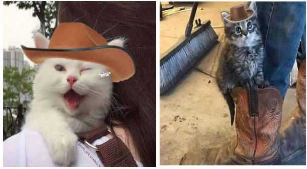 Cats cute cats cowboy hat cat photos cowboy animals - 9079557