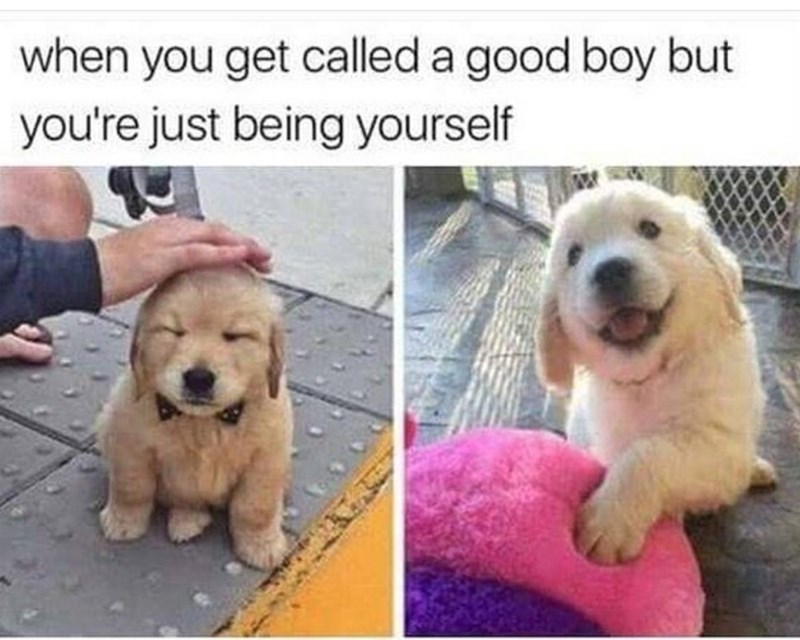 Adorable dog meme about being a good boy but just being a cute puppy and being yourself - 3jd8funny