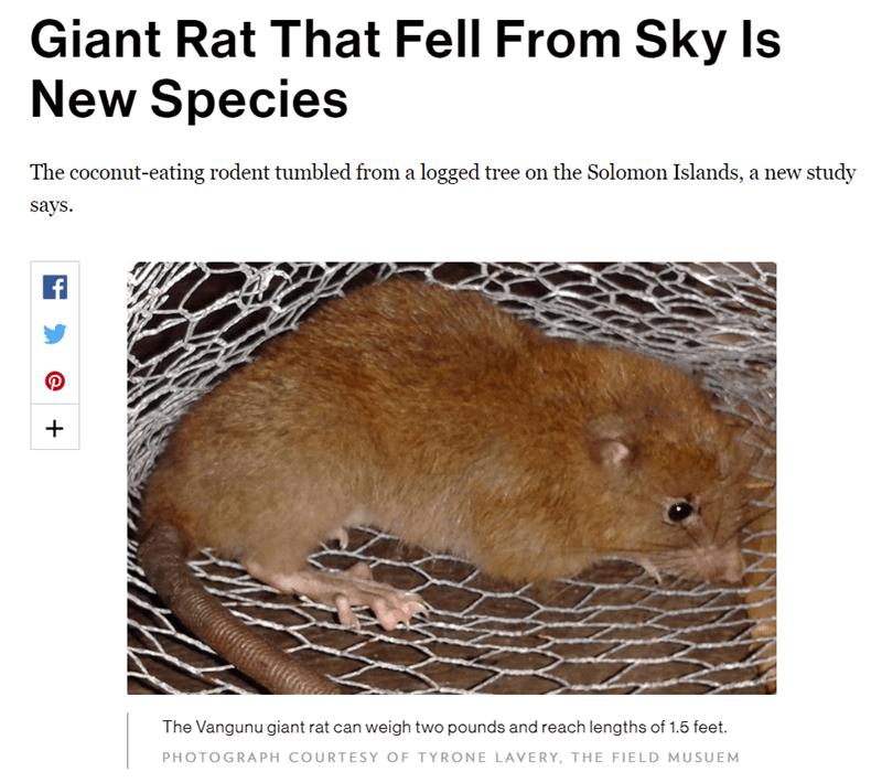 Adaptation - Giant Rat That Fell From Sky Is New Species The coconut-eating rodent tumbled from a logged tree on the Solomon Islands, a new study says The Vangunu giant rat can weigh two pounds and reach lengths of 1.5 feet. PHOTOGRAPH COURTESY OF TYRONE LAVERY, THE FIELD MUSUEM