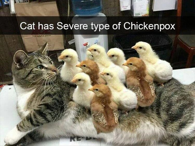Cat with chicks all over him