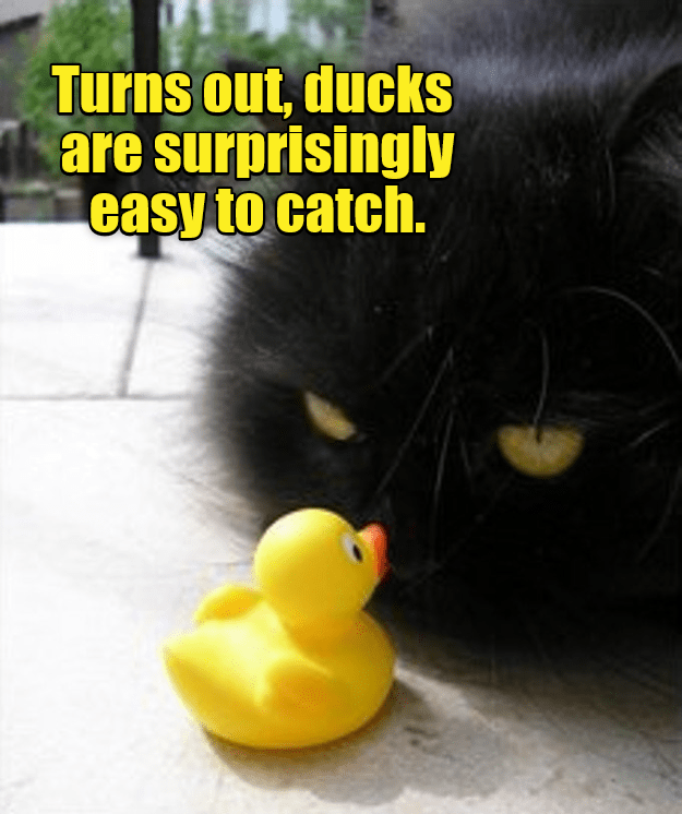 cat memes - rubber ducky - Turns out, ducks are surprisingly easy to catch.