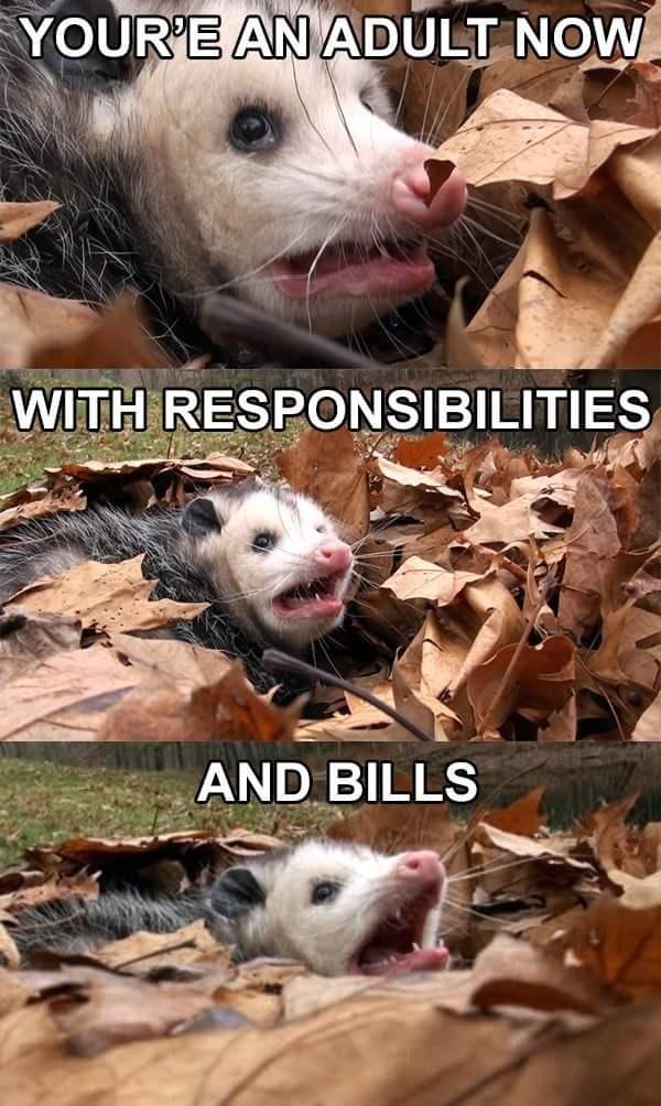 Angry Possum meme