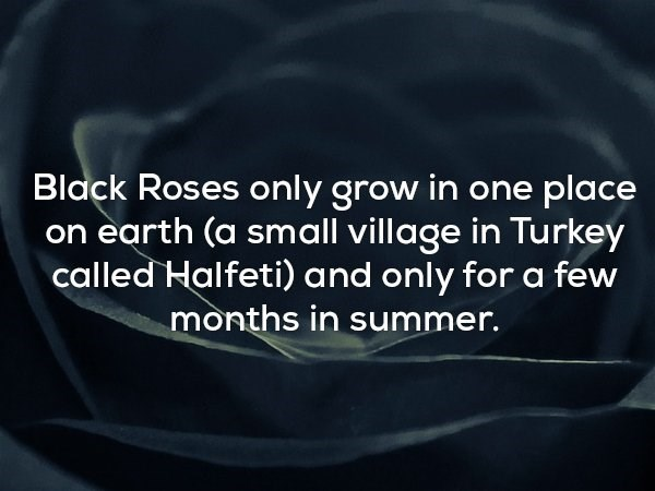 Text - Black Roses only grow in one place on earth (a small village in Turkey called Halfeti) and only for a few months in summer.