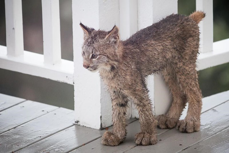 big pawed lynx kitten rubbing up against corner post