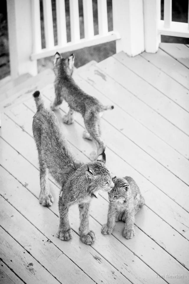 affection lynx kittens and momma cat