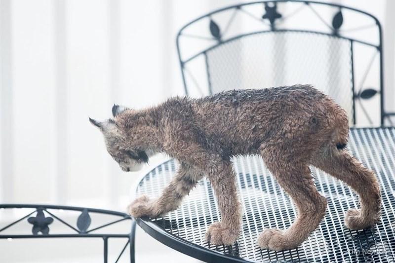 Lynx cat on lawn furniture