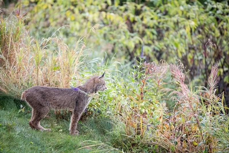 lynx cat in the backyard