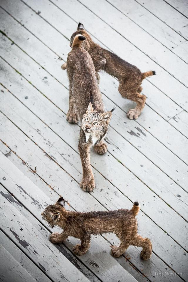 lynx cat and kittens on a wooden deck