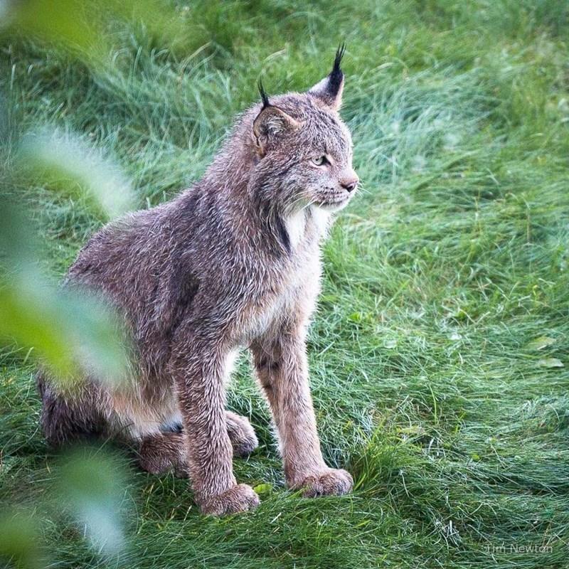 Backyard lynx cat
