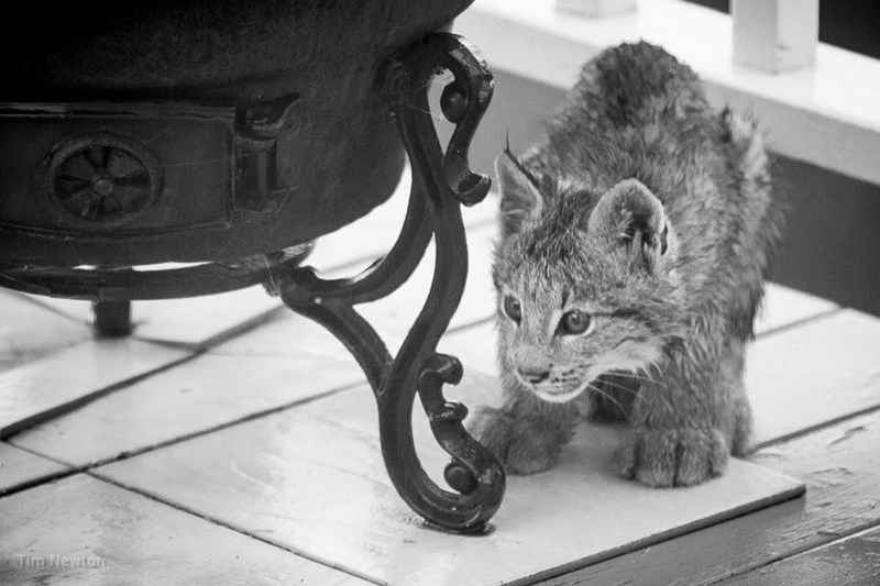 lynx cat smelling lawn items