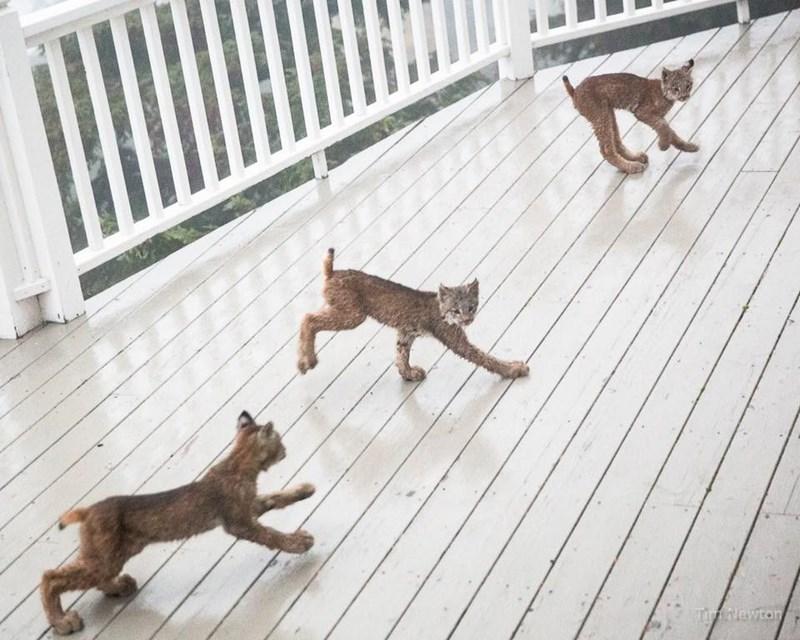 lynx kittens running on wooden deck
