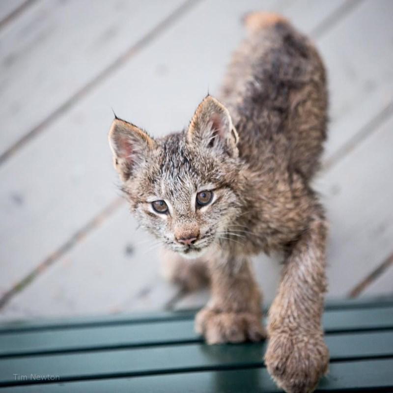 lynx kitten portriat