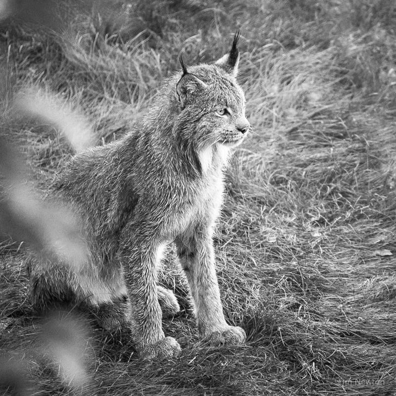 noble lynx cat