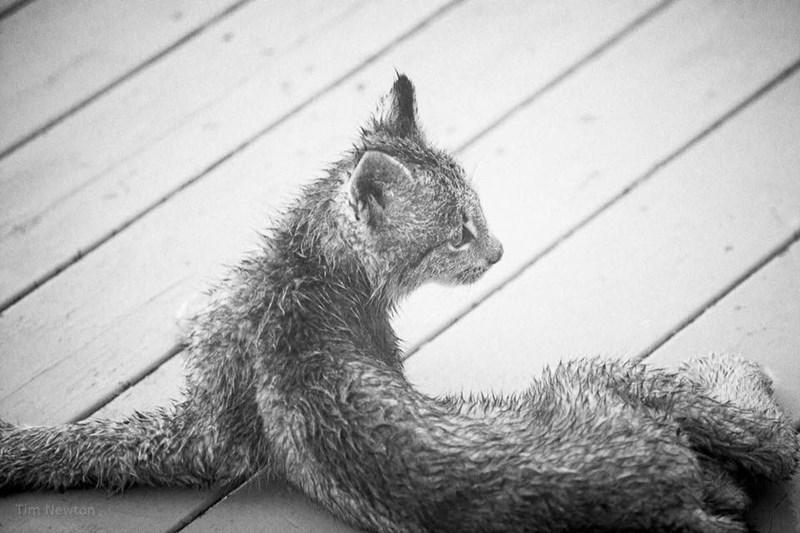 lynx kitten chilling