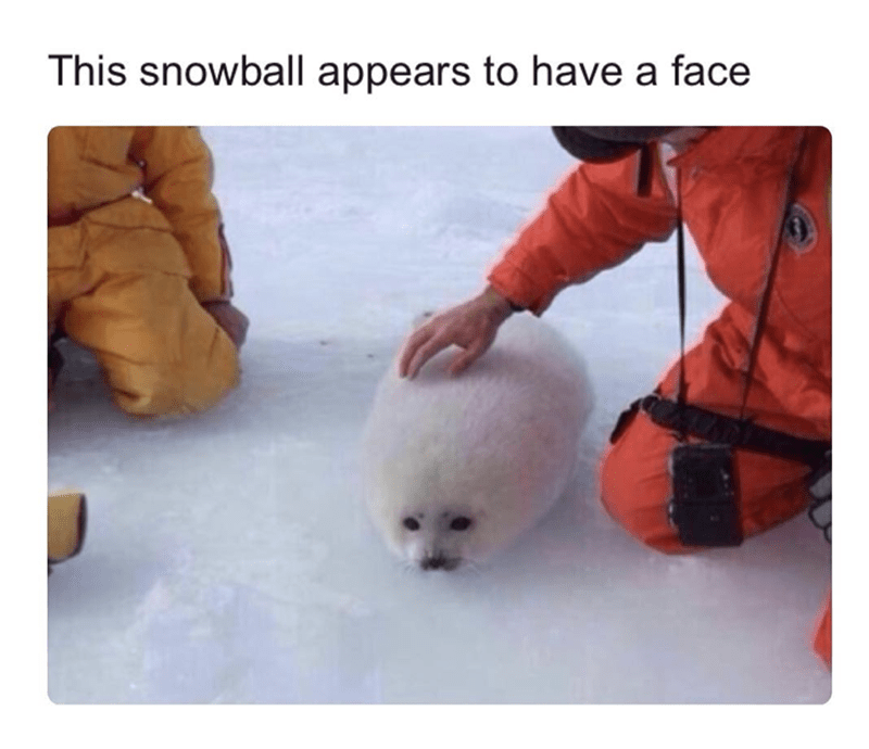 Adorable seal that looks like a snowball with a face