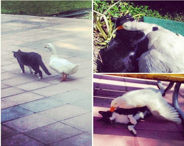 goose and cat that seem to be real good friends