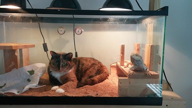 cat and lizard sharing space
