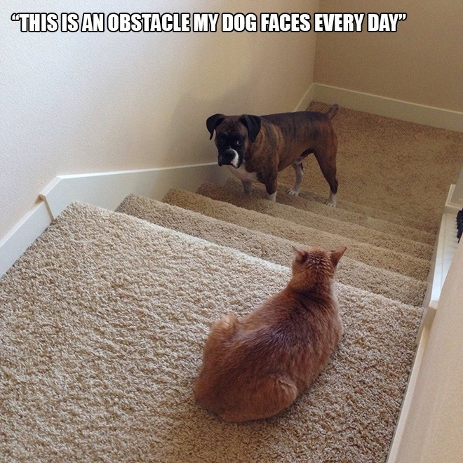 """Cat - """"THIS IS AN OBSTACLE MY DOG FACES EVERY DAY"""