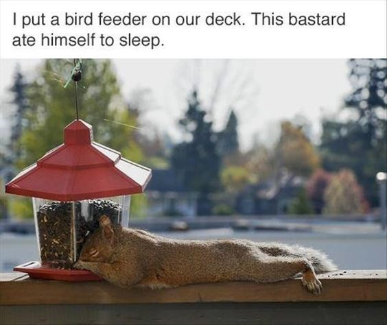 Squirrel - I put a bird feeder on our deck. This bastard ate himself to sleep