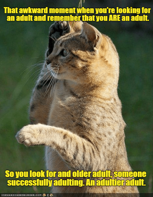 Felidae - That awkward moment when you're looking for an adult and remember that you ARE an adult. So you look for and older adult, someone Successfully adulting. An adultier adult. ICANHASOHEEZBURGER.OOM