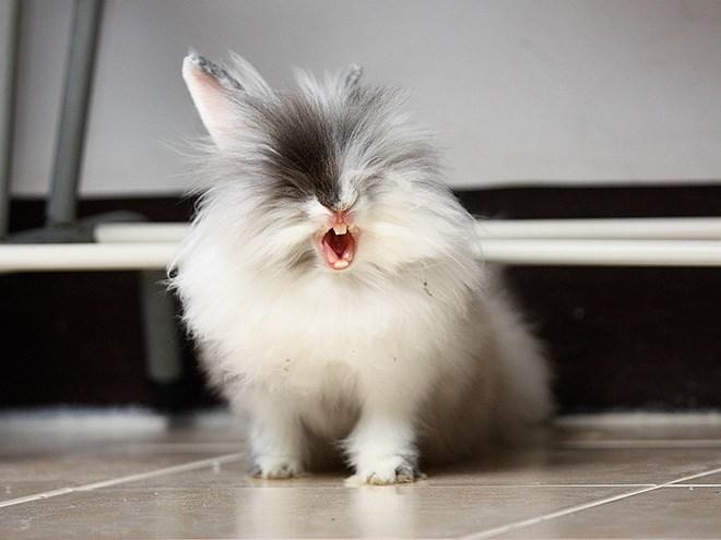 yawning rabbit - Mammal