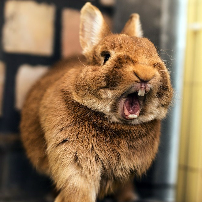 yawning rabbit - Vertebrate