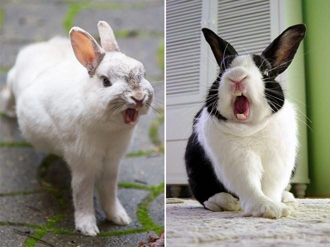 yawning rabbit - Rabbit
