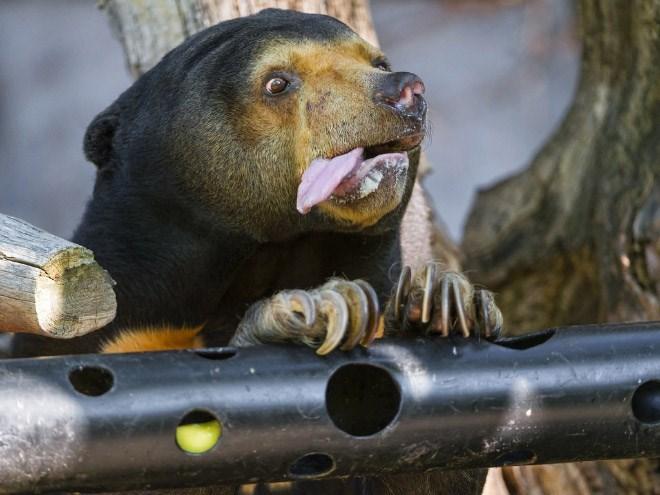 bear tongue - Vertebrate
