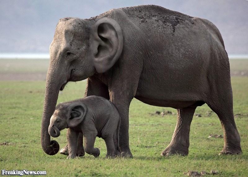 ear photoshop - Elephant - Freaking News.com