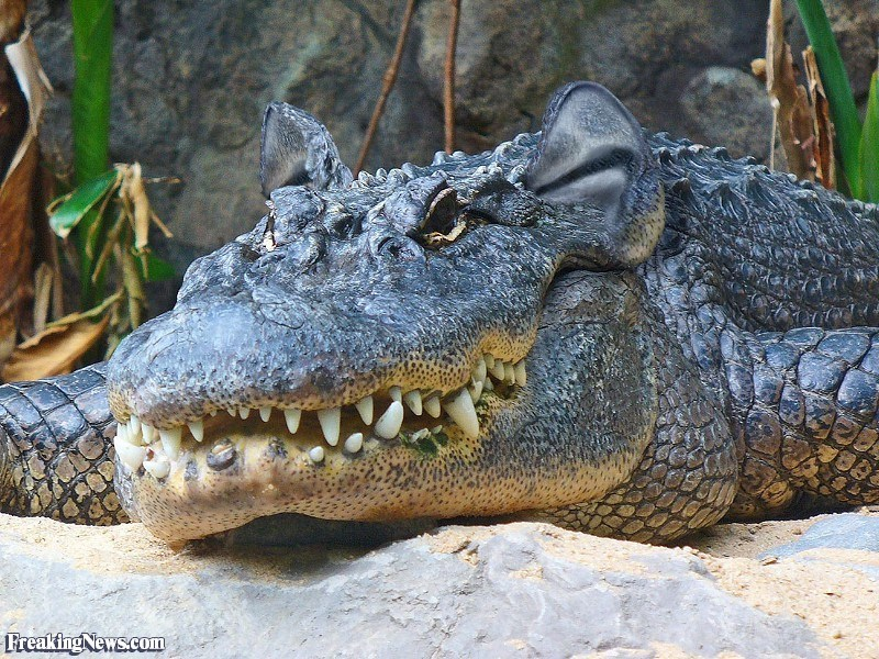 ear photoshop - Alligator - www Freaking News.com