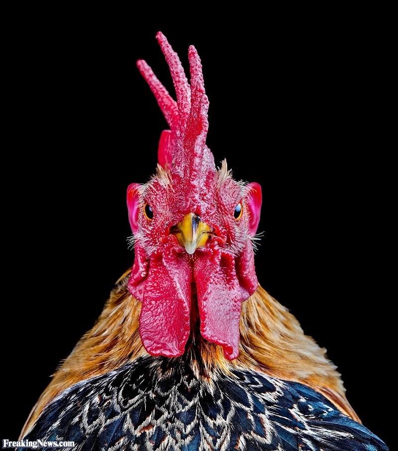 ear photoshop - Chicken - Freaking News.com