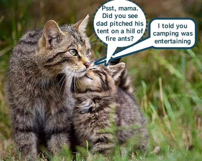 Cat - Psst, mama. Did you see dad pitched his tent on a hill of fire ants? I told you camping was entertaining