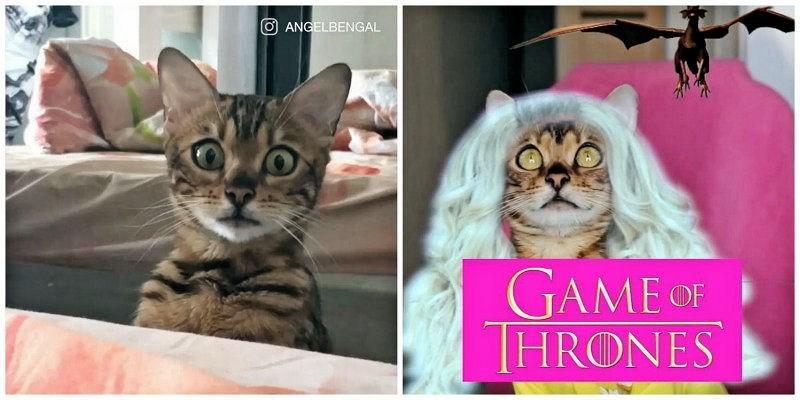 Cat - O ANGELBENGAL GAME OF THRONES