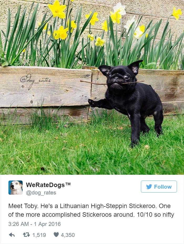 dog meme with pic of French bulldog walking swith a stick in its mouth
