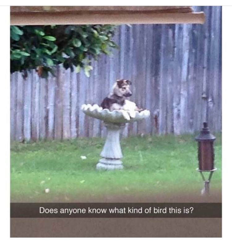 dog meme about identifying birds with pic of dog sitting in a bird bath