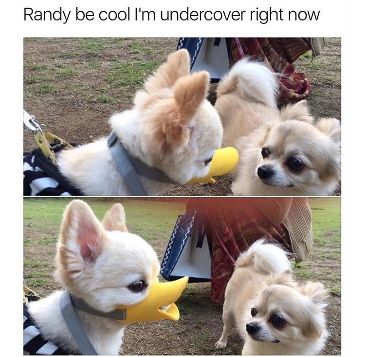 dog meme about going undercover with pic of dog wearing a duck bill shaped muzzle