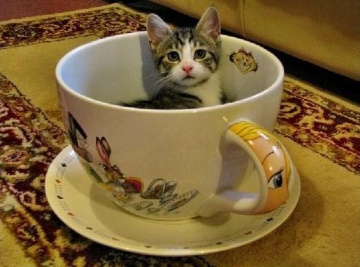 teacup cat - tiny cute little cat in a teacup